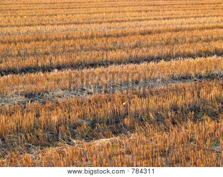 Beautiful crop-field (full size)