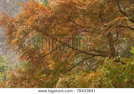 Decidous Pine Tree