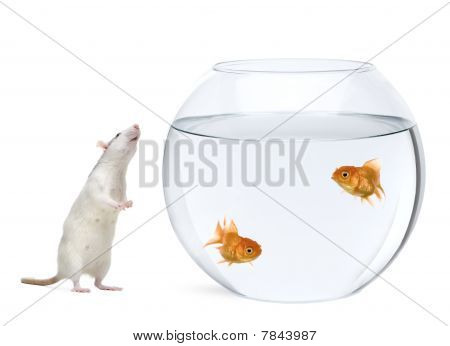 Two Goldfish Swimming In Fish Bowl And Rat Smelling Nearby, In Front Of White Background, Studio Sho