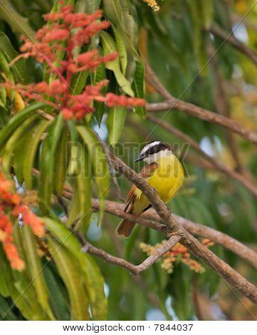 Social Flycatcher bird in a tree.