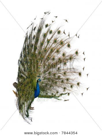 Side View Of Male Indian Peafowl Displaying Tail Feathers In Front Of White Background
