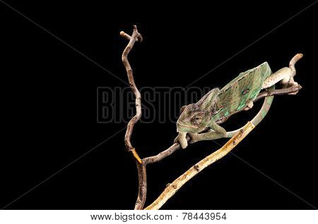 Young chameleon clinging to branches on a black background