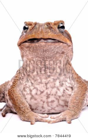 Closeup Cane Toad