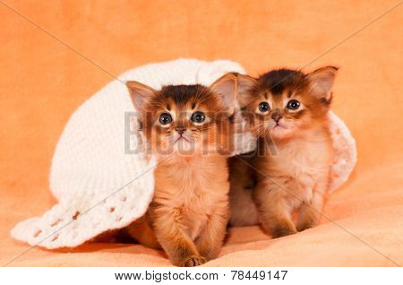 Two Somali Kittens Under White Hat