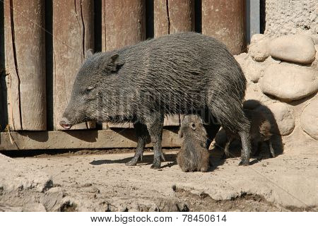 Collared peccary (Pecari tajacu) feeding its little piglets.
