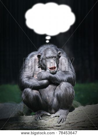 Funny chimpanzee dreaming. Picture with thought bubble for your joke.