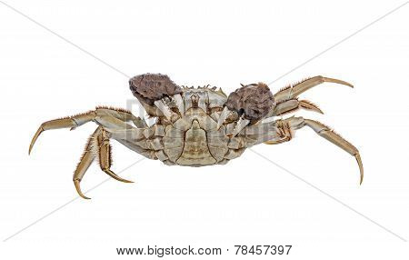 Hairy crabs Raised claws Isolated on white