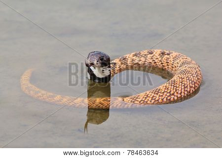 Shield Nose Cobra - African Snake Background - Ready to Strike