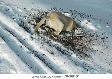 Dog looking for mouse under the snow