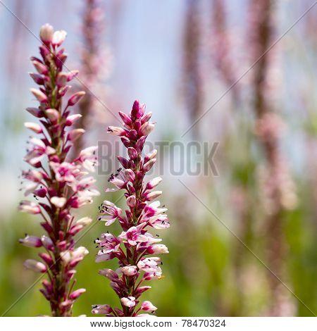 Flowers of Knotweed.