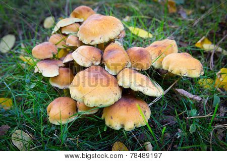 Hypholoma Fasciculare Also Known As The Sulphur Tuft
