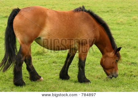 Grazing drafthorse