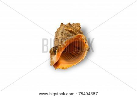 Shell Rapa Whelk