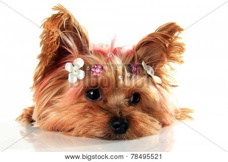 Yorkshire terrier puppy with pink dyed hair, wearing custom jewelry.