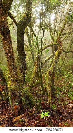Laurel forest in Canary Islands, Spain, Europe