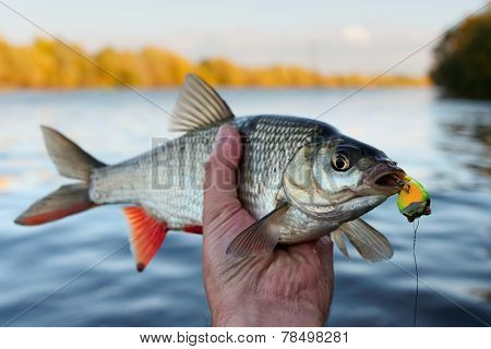 Fish in fisherman's hand