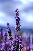 image of lavender field  - Lavender Flowers blooming in field - JPG