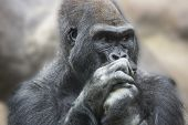 picture of face-fungus  - Portrait of a gorilla male - JPG