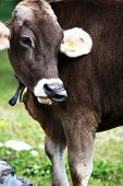 image of long tongue  - A beautiful cow show her long tongue - JPG