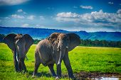 picture of african animals  - Large African elephant in a national park South Africa - JPG