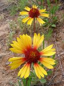 picture of xeriscape  - pair of gaillarda flowers - JPG