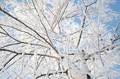 picture of fulcrum  - birch tree crown in winter snow hoarfrost  - JPG