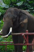 picture of tusks  - Elephant with the tips of his tusks trimmed for safety - JPG