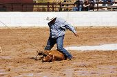 stock photo of brahma-bull  - A cowboy throws a steer in a muddy rodeo arena - JPG