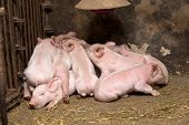 pic of piglet  - Little piglets suckling their mother - JPG