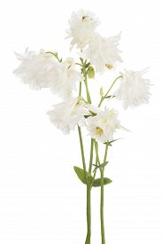 stock photo of columbine  - Studio Shot of White Colored Columbine Flowers Isolated on White Background - JPG