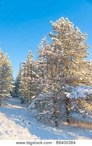 Snowy Fir Trees Under Blue Skies