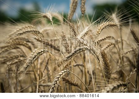 Wheat Beards