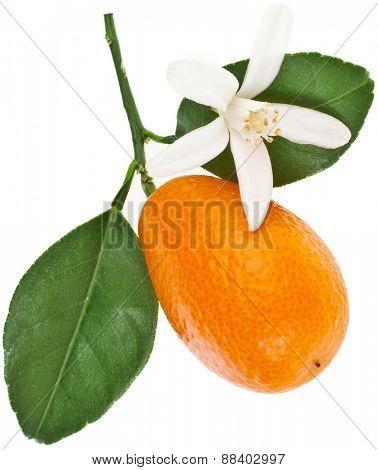 one kumquat citrus fruit flowering close up isolated on white background