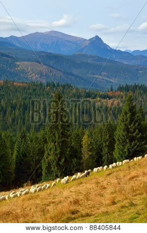 Sheeps on a mountain meadow.