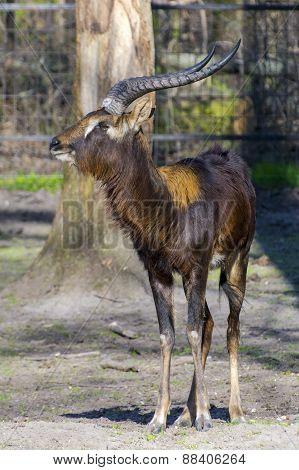 Nile Lechwe (kobus Megaceros)