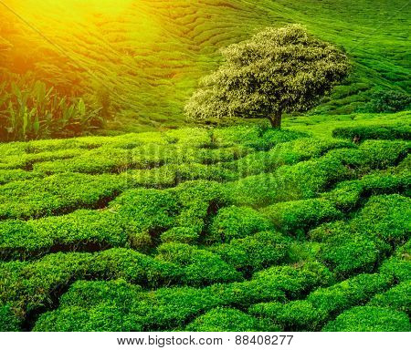 Lonley tree on tea plantation in the Cameron Highlands, Malaysia