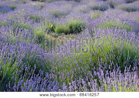 Lavender Field On A Mediterranean Wind