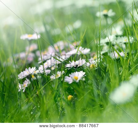 Daisy flowers in spring grass