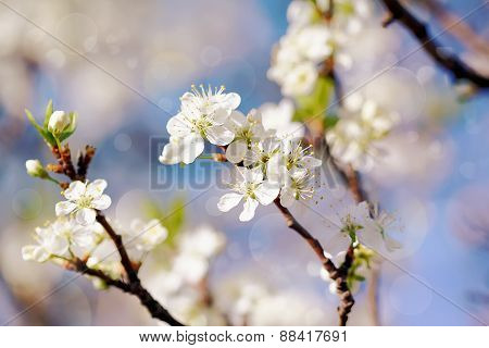 White Flowers Of Cherry.