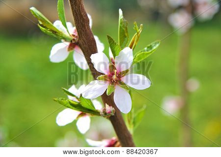 Blossoming almond branch with white flowers