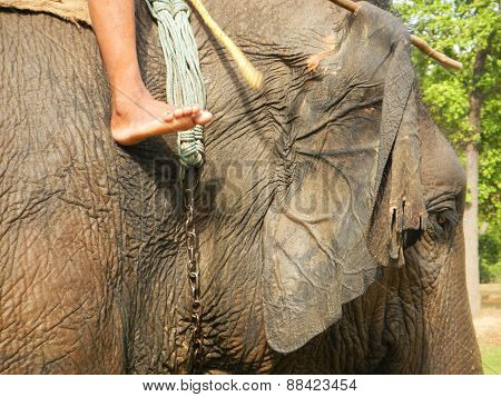 close up of a domestic elephant mounted by its mahout