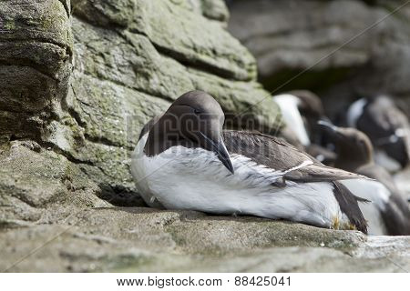 Close up of common murre.