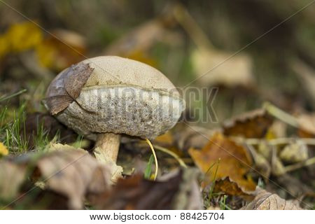 Boletus felleus, Bitter Bolete in the forest, fall season, Vosges