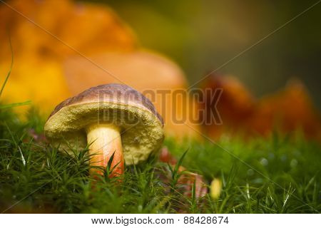 Boletus chrysenteron, red cracking bolete