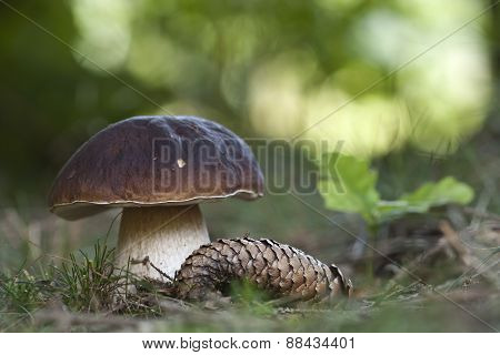 Boletus edulis, porcini in the forest, Vosges, France