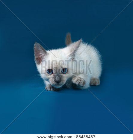 Thai White Kitten Standing On Blue