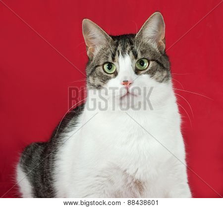 Tabby And White Cat Is Standing On Red