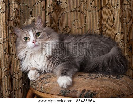 Fluffy Gray And White Cat Sitting On Stool
