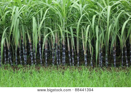 green rice paddy and sugarcane plants in growth