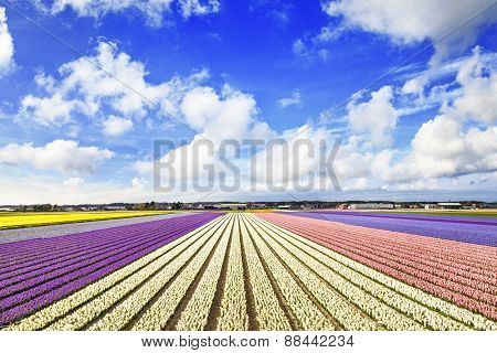 blooming fields of flowers in Holland